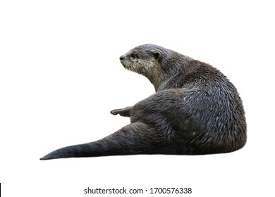Image of a otter(Lutrinae) isolated on white background. Wild Animals.