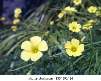 An image of Oxalis pes-caprae blooms in Japan late in March, 2019.