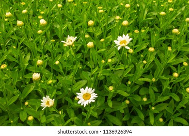 Image of Oxeye Daisies