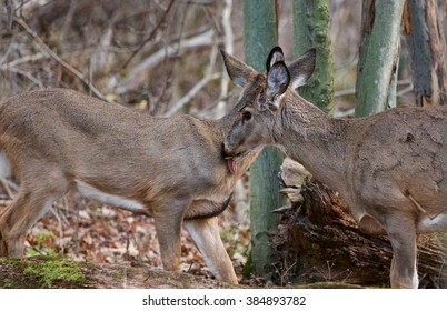 Image with the pair of wild deers licking each other