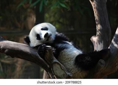 An Image of A Panda