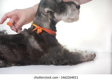 image of pet dog being given injection of medication. horizontal dark grey mini schnauzer dog and fore arms of woman.