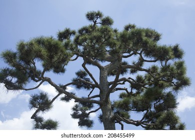 An image of Pine