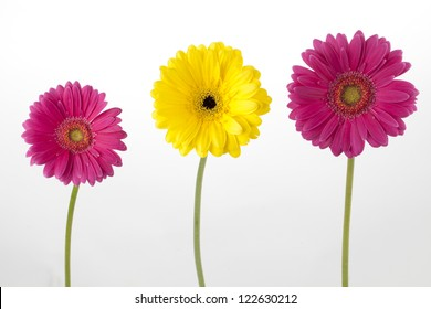 Image of pink and yellow daisies against white background