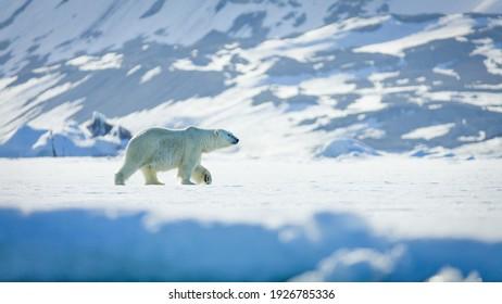 Image of a polar bear in Svalbard