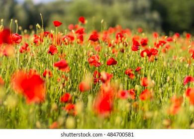 an image of poppy field