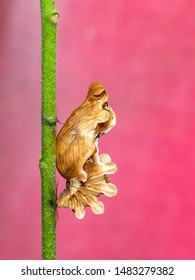 Image of Pupa brown of butterfly on a pink background., Insect. Animal.