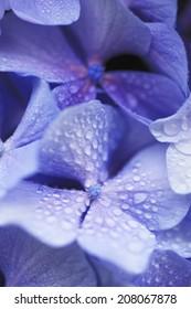 An Image of Purple Hydrangea
