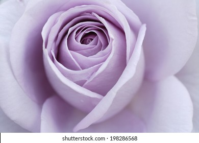 An Image of Purple Rose