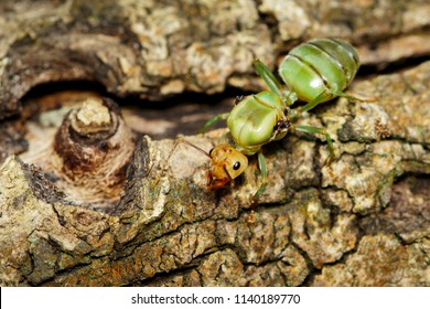 Image of the queen of ants on tree. weaver ant queen. Insect. Animal