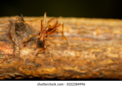 Image of red ant(Oecophylla smaragdina) on tree. Insect. Animal