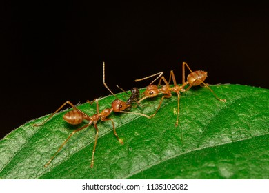 Image of red ant(Oecophylla smaragdina) on the green leaf. Insect. Animal