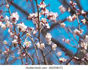 An image of red blossom of Japanese apricot at Igashira park in Tochigi, Japan in March, 2017