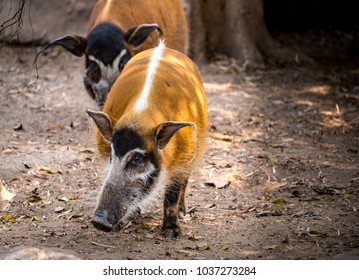 Image of Red River Hog on the ground
