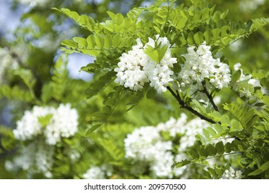 An Image of Robinia