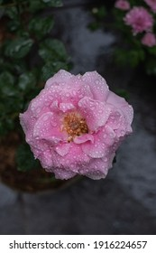 The image of rose bloom with dew drops in the morning