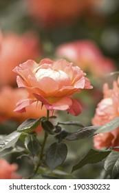 An image of Rose Fellowship