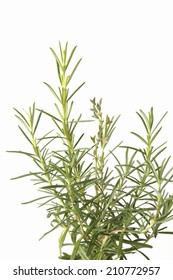 An Image of Rosemary