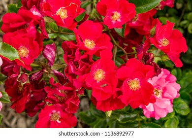 Image of Roses