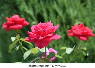 Image of roses and petals on green background.