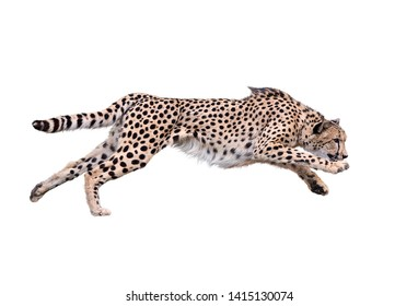 Image of running cheetah ,Isolated on white Background