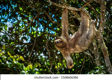 Image series taken in Panama of 2 young male brown-throated three-toed sloths fighting each other over territory, the bigger one wins fighting merciless until the smaller one gets away screaming.