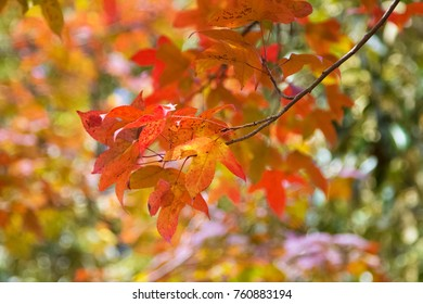 Image of shaky colorful leaves of Acer in autumn