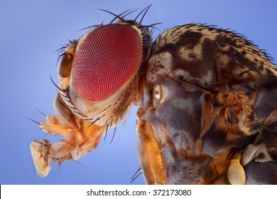 Image showed the Fruit Fly, Drosophila melanogaster. Photograph from the side showing the head and torso. Extreme macro shot made microscope lens.