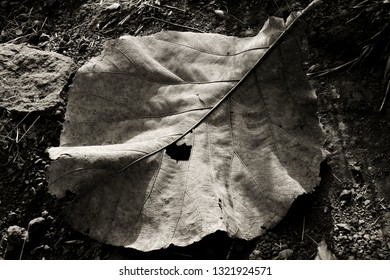 The image shows a big dry leaf of peepul under natural sunlight while trekking in Maharashtra, India