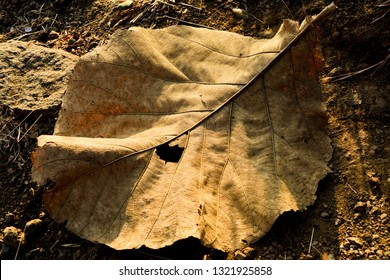 The image shows a big dry leaf under natural sunlight while trekking in Maharashtra, India