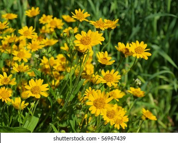 the image shows a blooming arnica montana