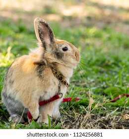Image shows a  brown pet rabbit with it's strap on.