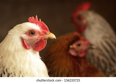 Image shows chicken searching for food, chicken series