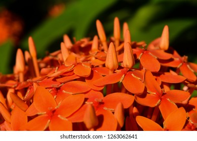 The image shows the close up of Red Spike Flower also called as Ixora Coccinea flower.