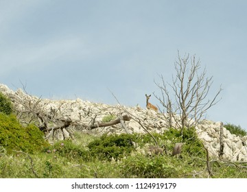 Image shows a deer standing at a rock  with blue sky as background.