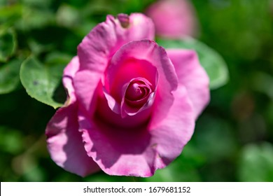 Image shows a detailed blossom of a pink rose in the garden