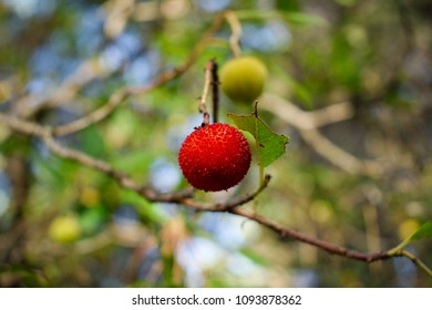 Image shows the fruit of a strawberry tree(Arbutus Unedo).