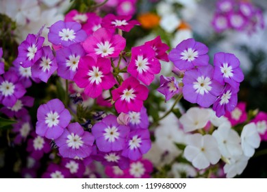 The image shows the group of Periwinkle flowers of colours purple , white and pink.