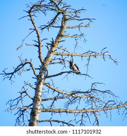 Image shows a hooded crow (Corvus cornix) sitting on a branch.