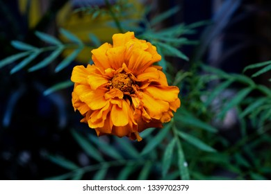 The image shows an isolated Marigold flower.