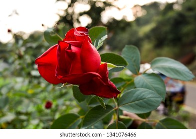 The image shows an isolated red rose flower in a park.