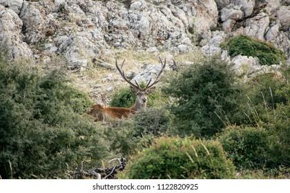 Image shows a male red deer(cervus  elaphus) at a forest.
