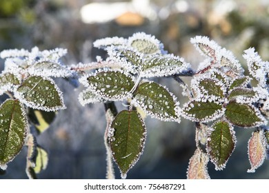 Image shows plants with hoarfrost in the sun