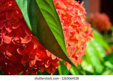 The image shows Red Spike Flower also called as Ixora Coccinea flower with its leaves.