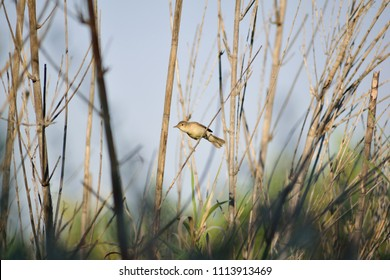 Image shows a Savi's warbler (Locustella luscinioides) on a reed.