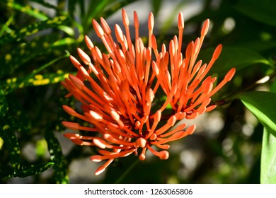 The image shows the sunlight on the buds of Red Spike Flower also called as Ixora Coccinea flower.