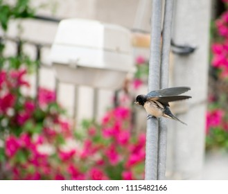 Image shows a swallow bird sitting on an electric wire.