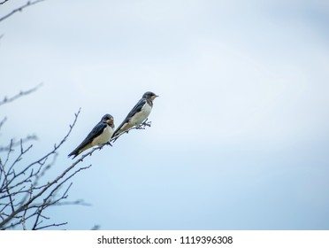 Image shows two swallows sitting on a branch.