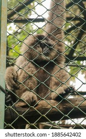 Image of Silvery gibbon in the cage. Lonly gibbon behind the Cage in the park, Bali, Indonesia. Hylobates moloch in zoo cage. Beauty and loveliness of Gibbons.