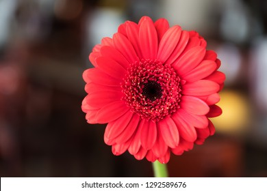 Image of a single beautiful red gerbera in a room with blurred background